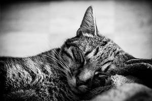 sleepy cat by Pokakulka