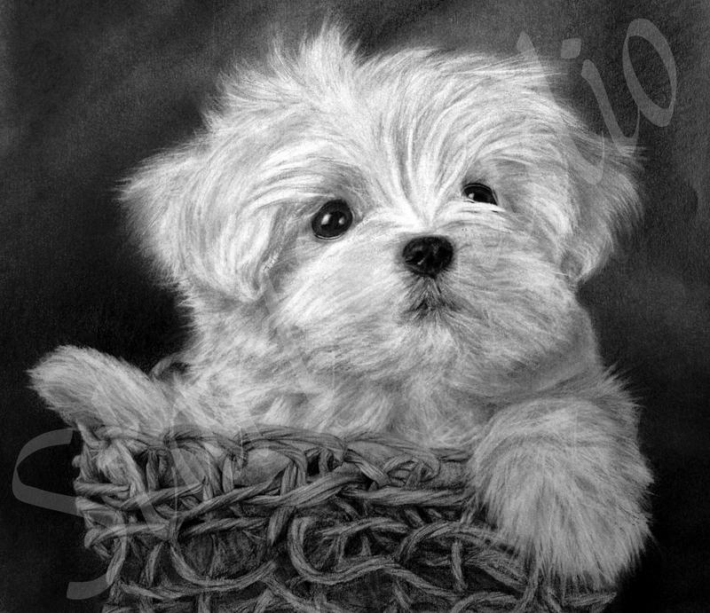 White Maltese Puppy by JamiePickering