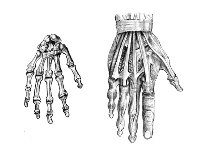 Hand Anatomy by Hobbes82 on DeviantArt