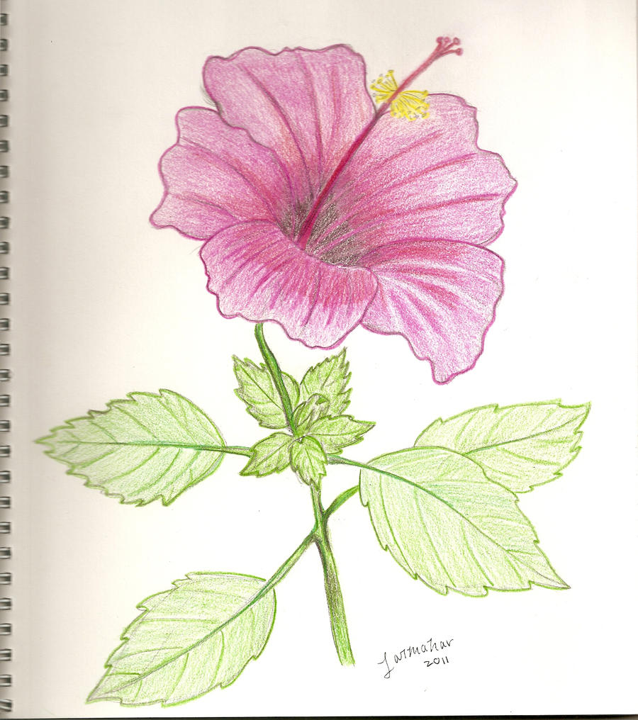 hibiscus flower by jarmahar hibiscus flower by jarmahar