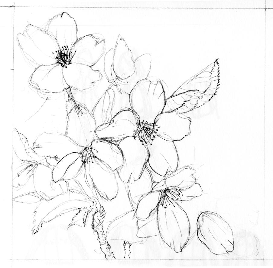 Blossom Flower Line Drawing : Cherry blossoms by echo on deviantart