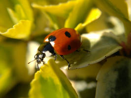 Macro Ladybird by johnyquest31