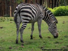 Common Zebra by Xantaria