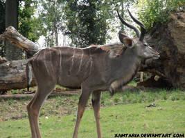 Kudu by Xantaria