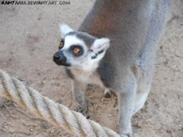 Looking Lemur by Xantaria