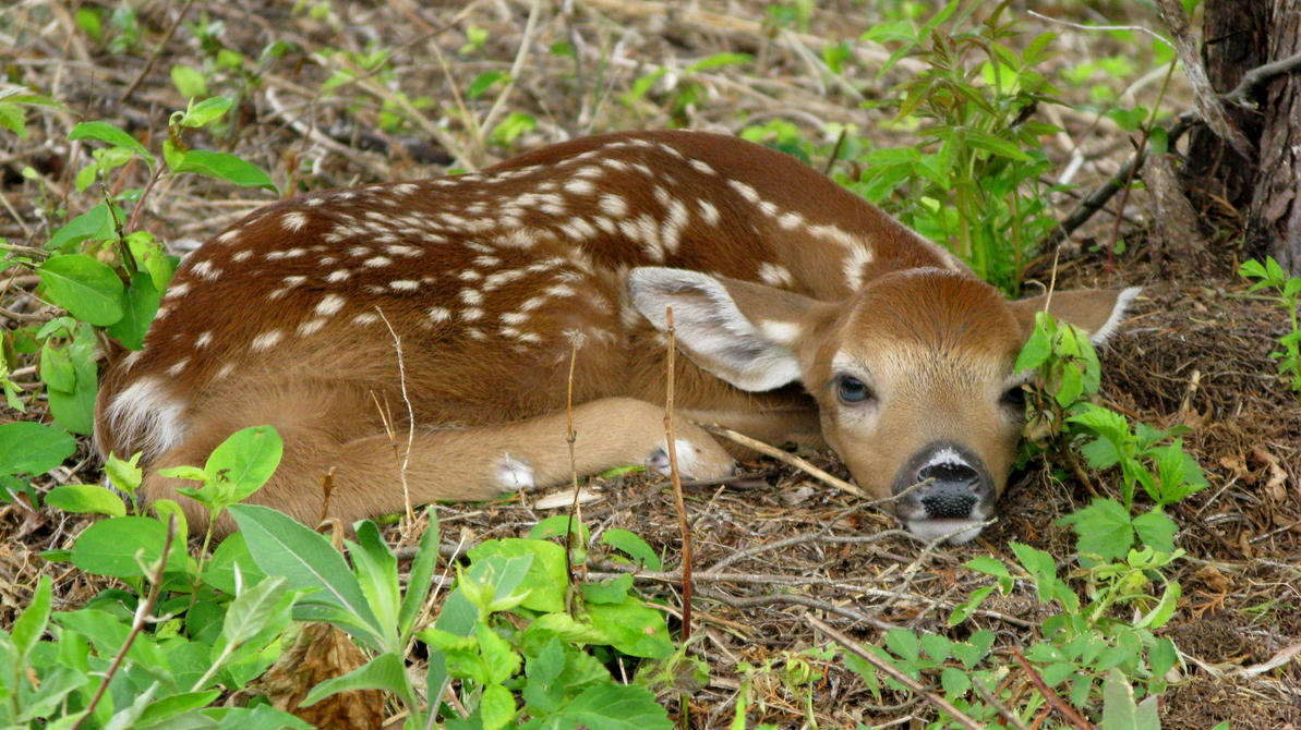 White Tail Fawn by 12GO