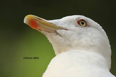 Yellow-legged gull by s-ascic