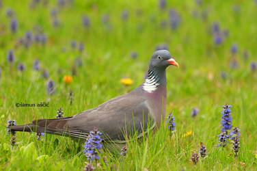 Common wood pigeon by s-ascic