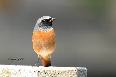 Common redstart by s-ascic