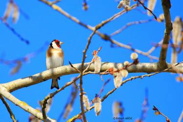 European goldfinch by s-ascic