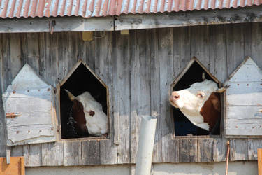 cows in the box by vidou07