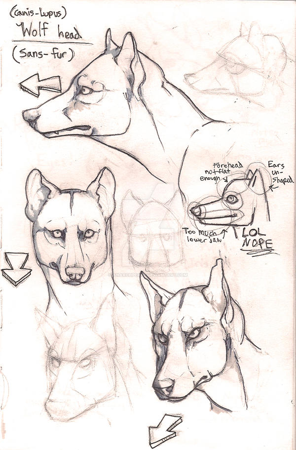 Wolf anatomy furless heads by Anarchpeace on DeviantArt
