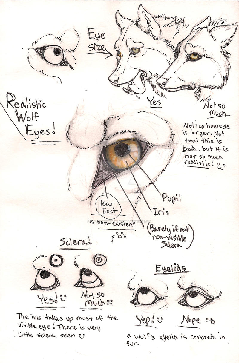 Wolf eye anatomy page by Anarchpeace on DeviantArt