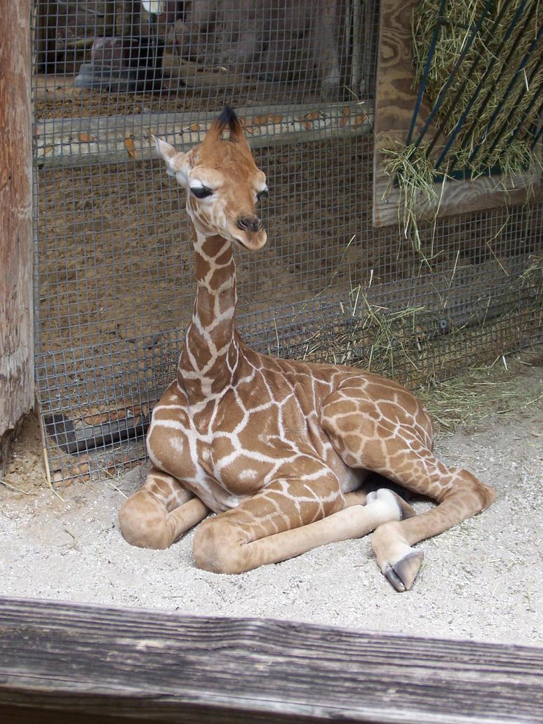 Baby Giraffe by stock-it