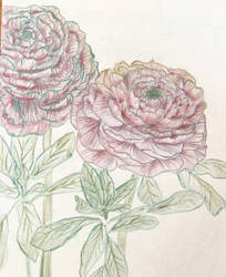 Ranunculus Flowers, Metallic Colored Pencil by maddieamie