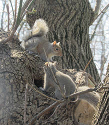 Young squirrels by AsjJohnson
