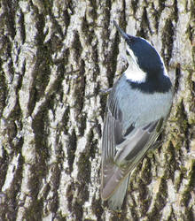 Nuthatch on stump by AsjJohnson