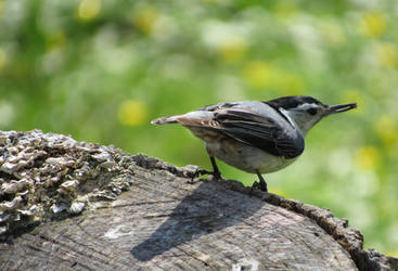 Nuthatch by AsjJohnson