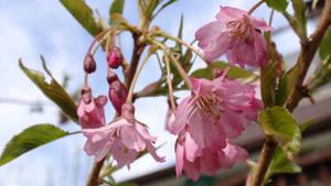 - Sakura -