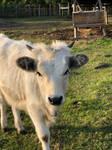 Hungarian Grey Cattle II