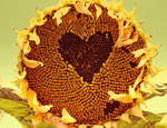 Sunflower by KatyBerry
