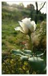 the last white rose ...