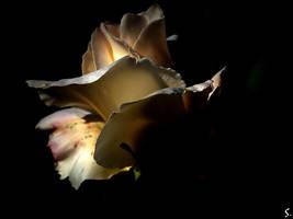 ... white rose ... by grandma-S
