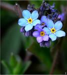 first tiny wild blue... by grandma-S