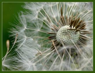 dandelion time ... by grandma-S