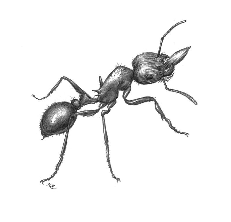 red harvester ant sketch by mari 3