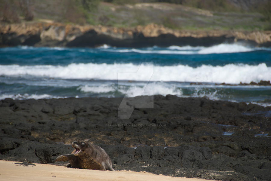Seal, Hawaii by iamintheprocess