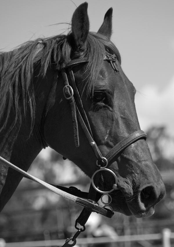 Quarter Horse Portrait by Barana