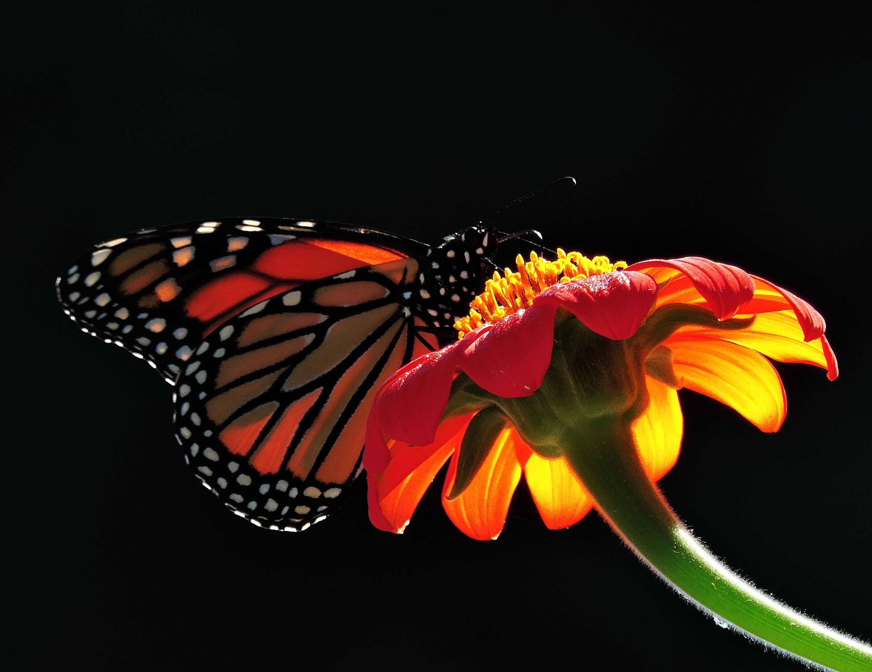 Majestic Monarch by Artlune