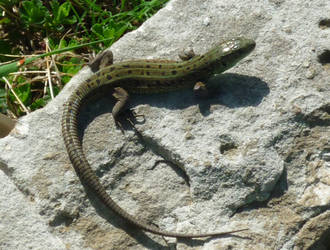 Lizard by LasmejaLora