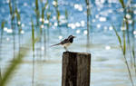 Wagtail by the lake