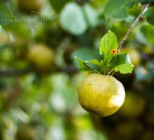 Apple Picking by JenFruzz