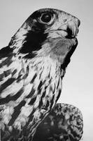 Falco peregrinus by InjectVibrancy