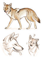 Coyote Sketches by Inonibird