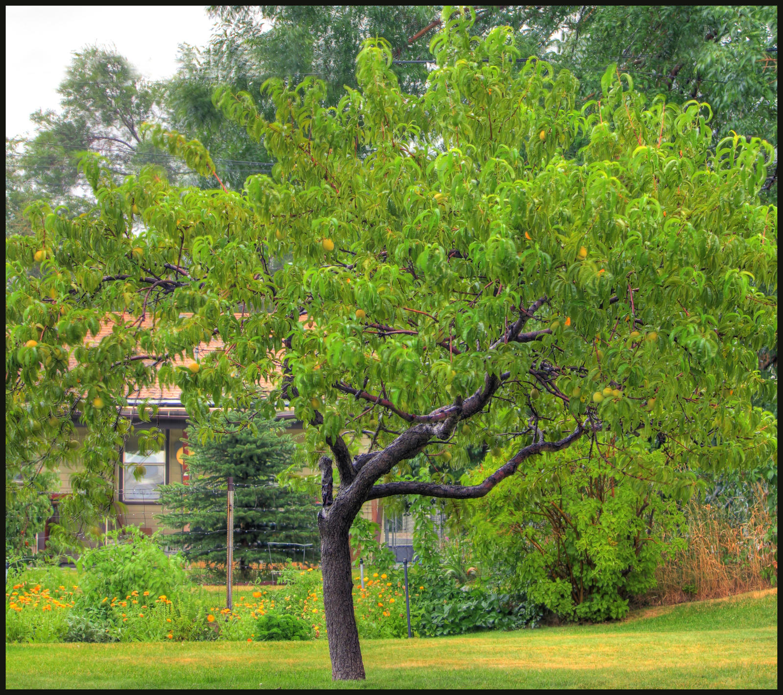 Thundestorm peach tree hdr by coby111 on deviantart for The peach tree