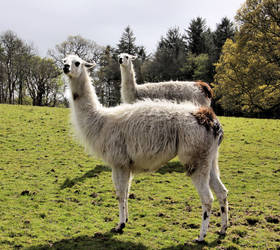 2 Llamas by UdoChristmann