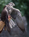 Falcon on the hand