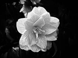 Flower monochrome by UdoChristmann