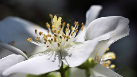 Blossom - macro by UdoChristmann