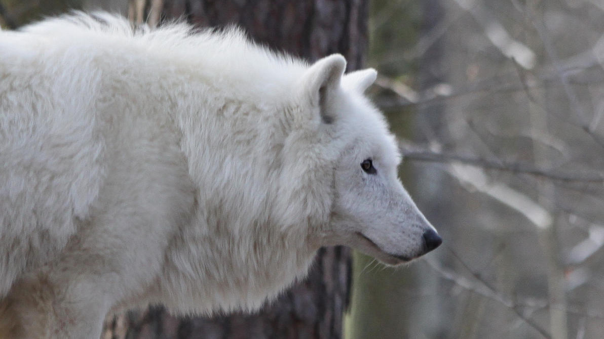 White Wolf by UdoChristmann