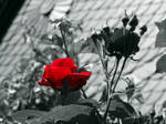 Rose 2 by UdoChristmann