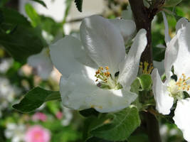 Apple blossom by UdoChristmann