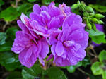 some violet