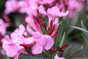 Oleander blossoms and buds by UdoChristmann