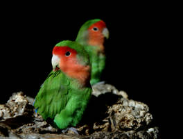 Parrots by UdoChristmann