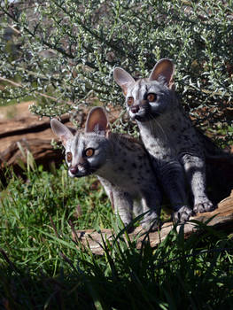 Small-Spotted Genet 2
